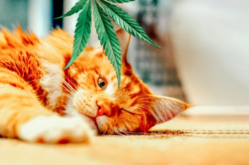 kitten hemp leaves